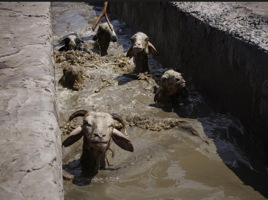 Обработка овец от паразитов