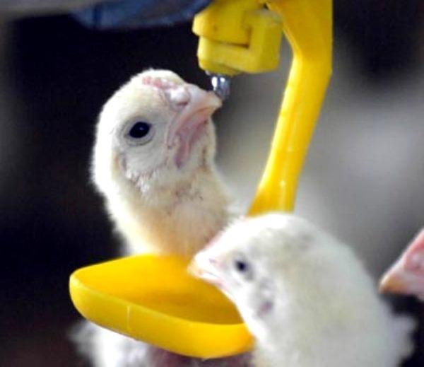Пропаивание раствора Бутофана птенцам