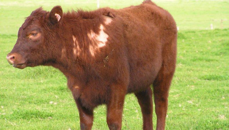Корова больная трихофитией