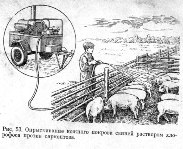 Обработка свиней от паразитов