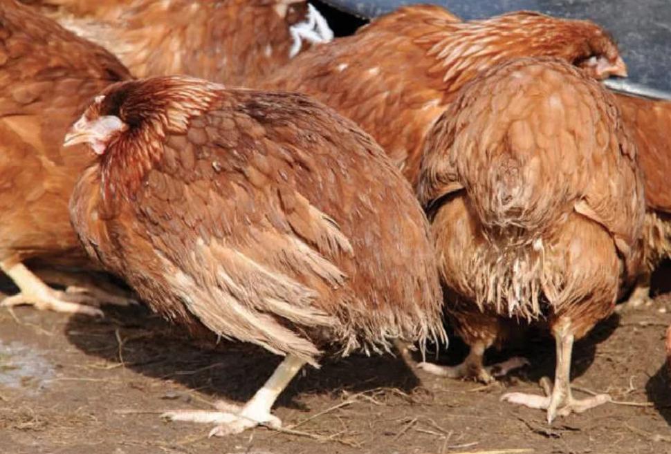 Цыплята нахохлены, сбиваются в кучи