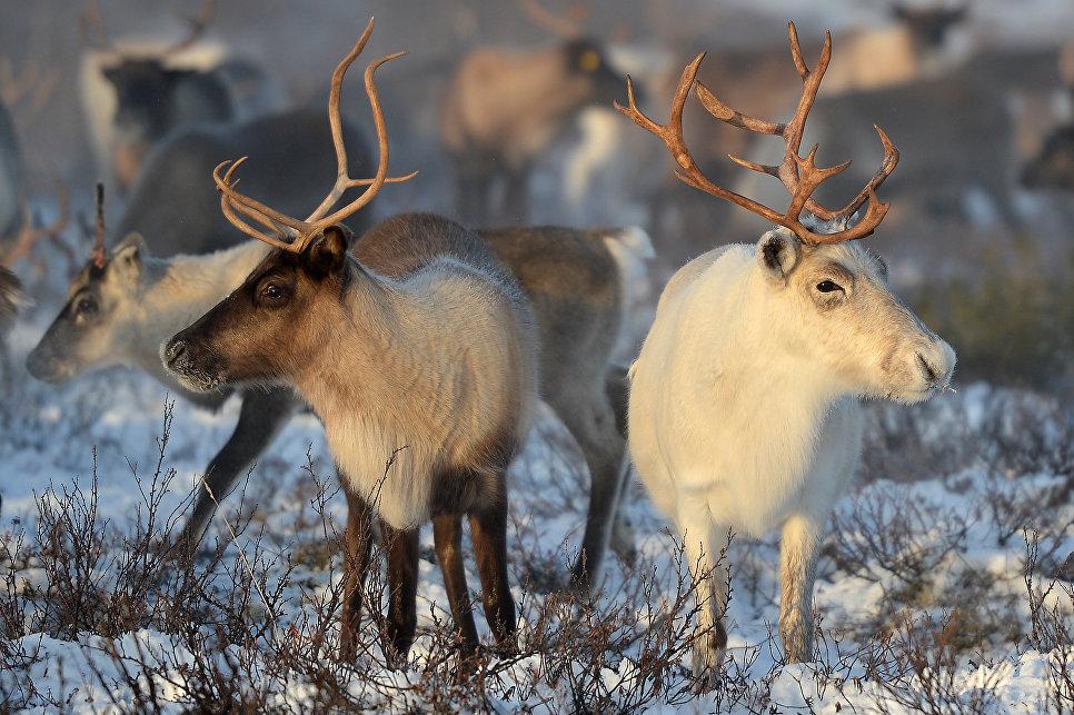 Антракс был распространен в Сибири среди северных оленей
