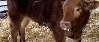 Больной бронхопневмонией теленок