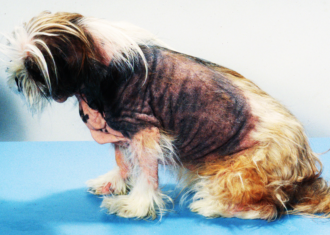 Атопический дерматит у собаки