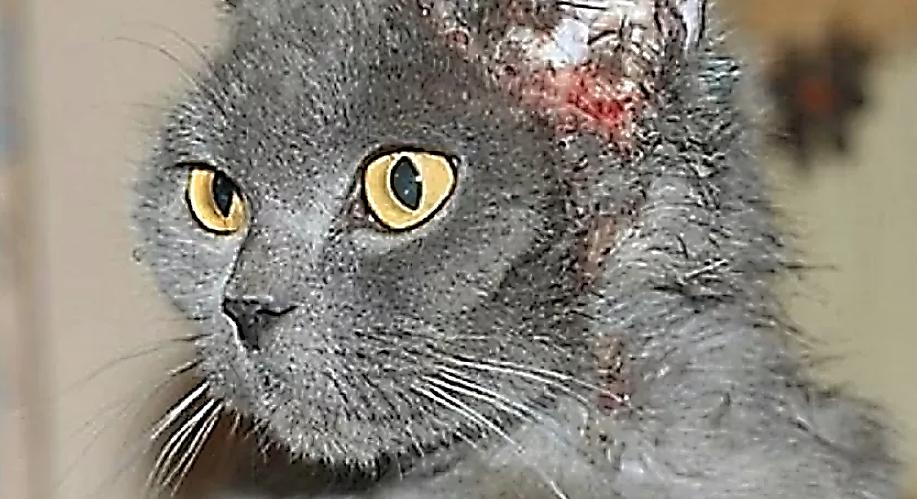 Атопия у кошки