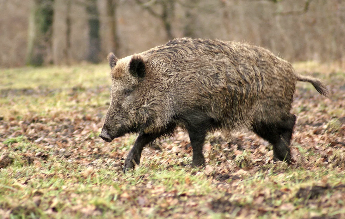 Африканская чума свиней распространяется дикими кабанами