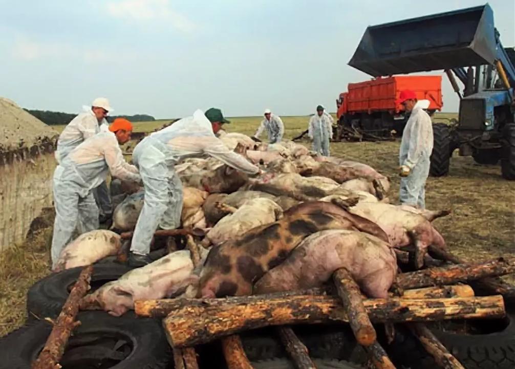 Ликвидация свиней, зараженных африканской чумой