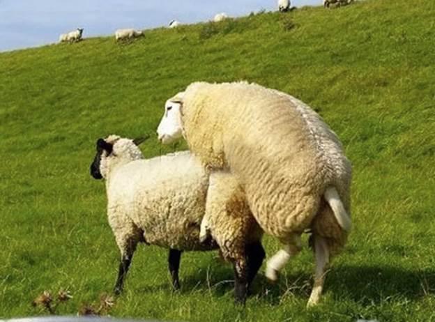 Больные бараны заражают овцематок при спаривании