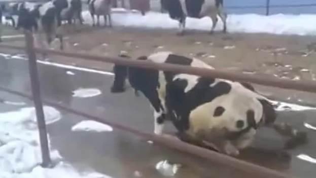 Бурсит развивается, если корова поскальзывается на льду