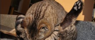 При вагините кошка вылизывает гениталии