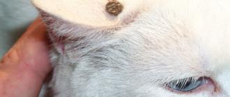 Боррелий переносят иксодовые клещи