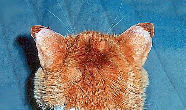 Поражение кончиков ушей при васкулите