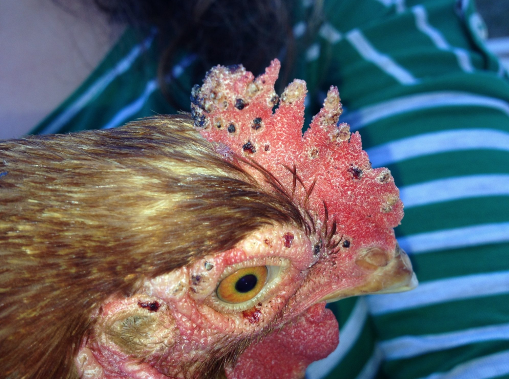 Курицу покусали гамазовые клещи