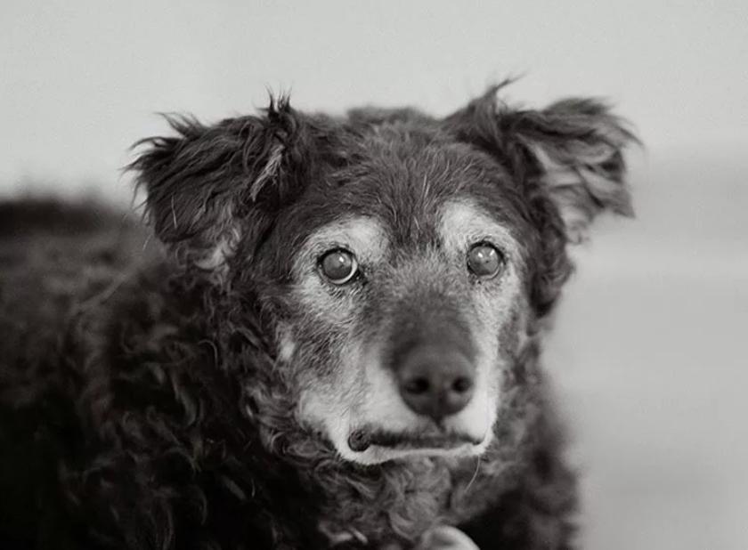 Гипертиреоз развивается у старых собак