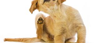 Вшивая собака постоянно чешется