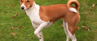 При вывихе собака поджимает лапу