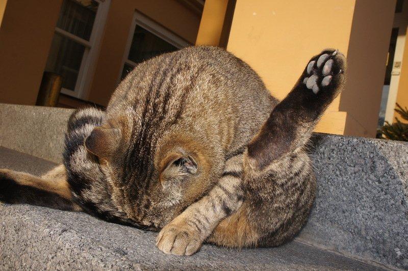 При парапроктите кошка вылизывает анус