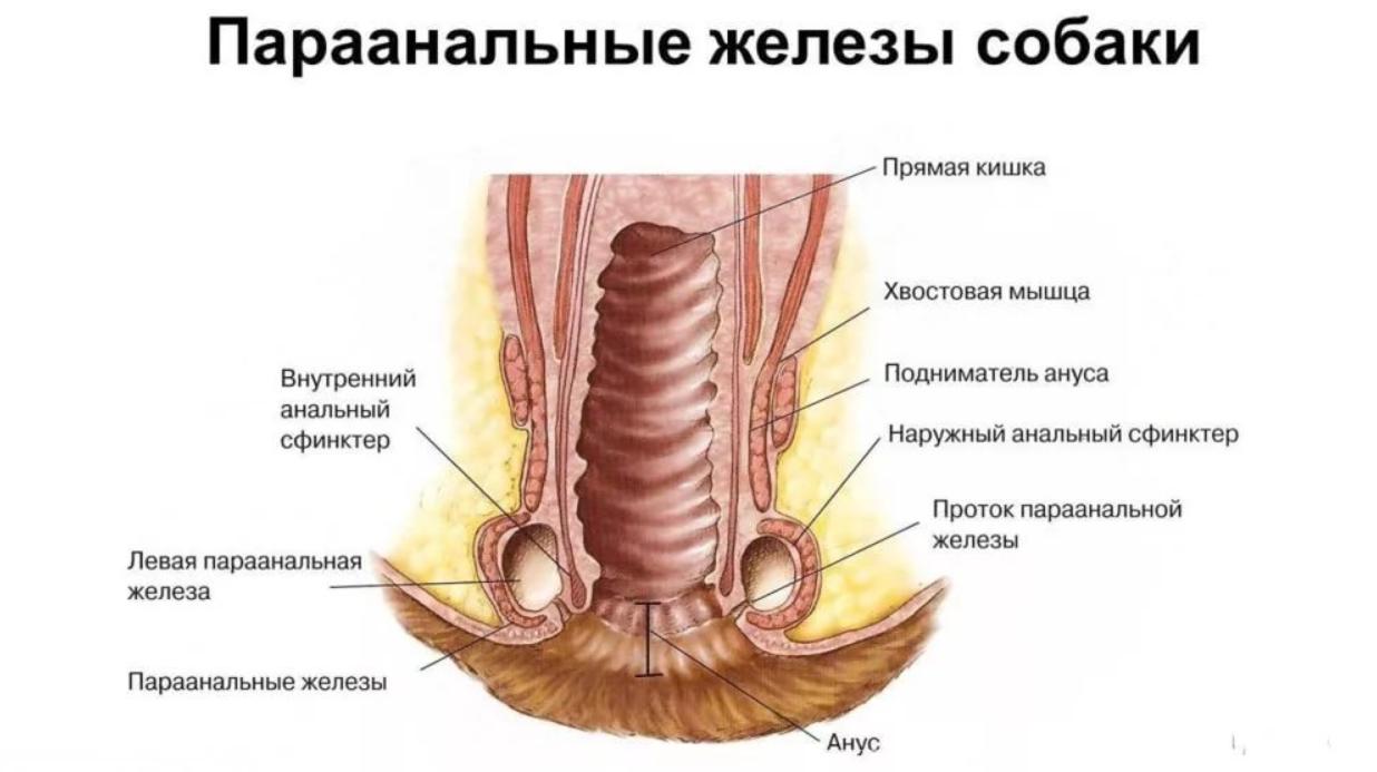 Анатомия параанальных желез