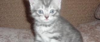 Шестинедельного котенка перед прививкой дегельминтизируют