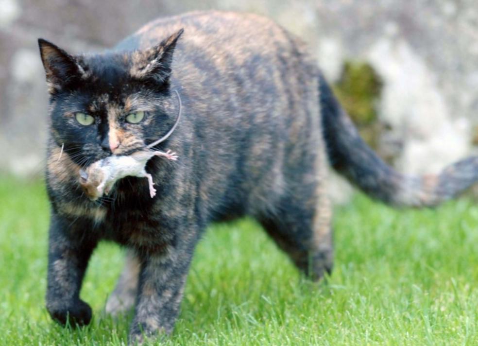 Кошка может отравиться при поедании мыши
