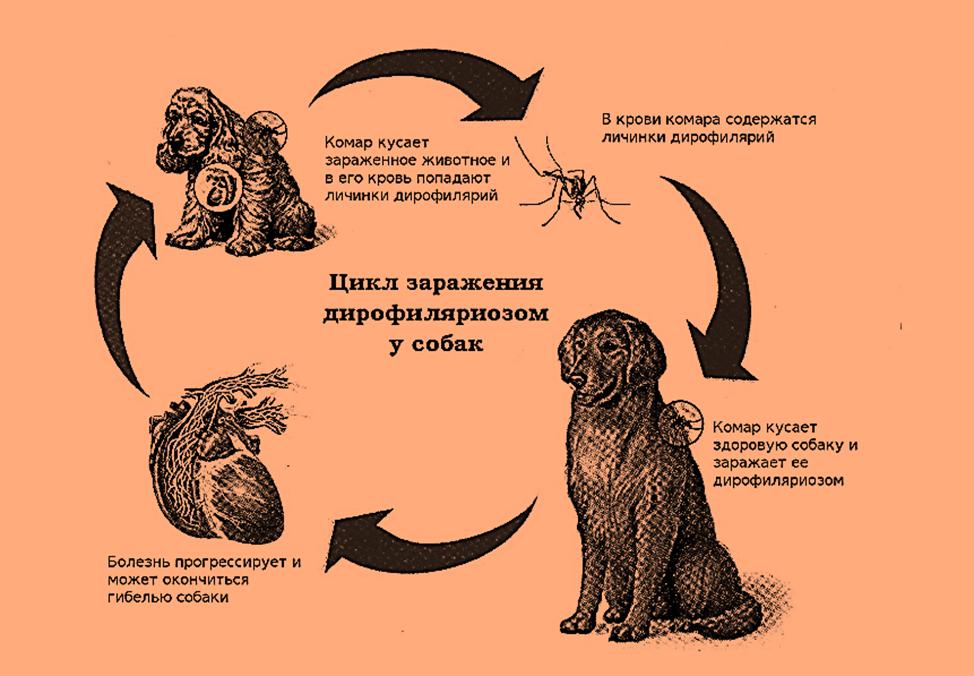 Биология паразита