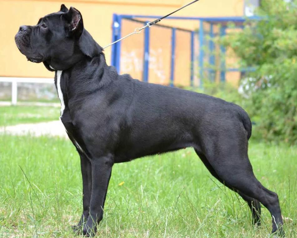 Собаки кане-корсо предрасположены к дисплазии локтевого сустава