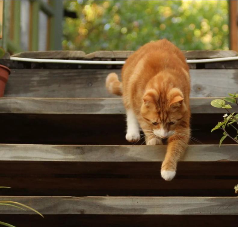 Кошке с дисплазией тазобедренных суставов трудно подниматься или спускаться по лестнице