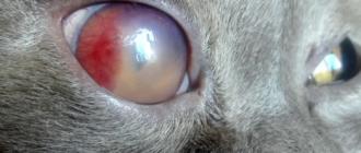 Осложнение кошачьего гриппа — потеря зрения