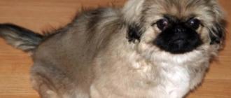 Щенки пекинесов предрасположены к собачьему гриппу