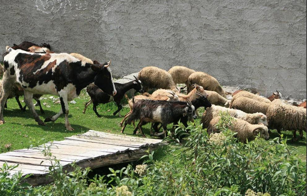 Коровы заражаются от овец при совместном содержании