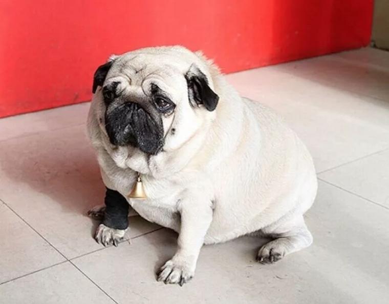 Коллапс трахеи возникает у ожиревших собачек