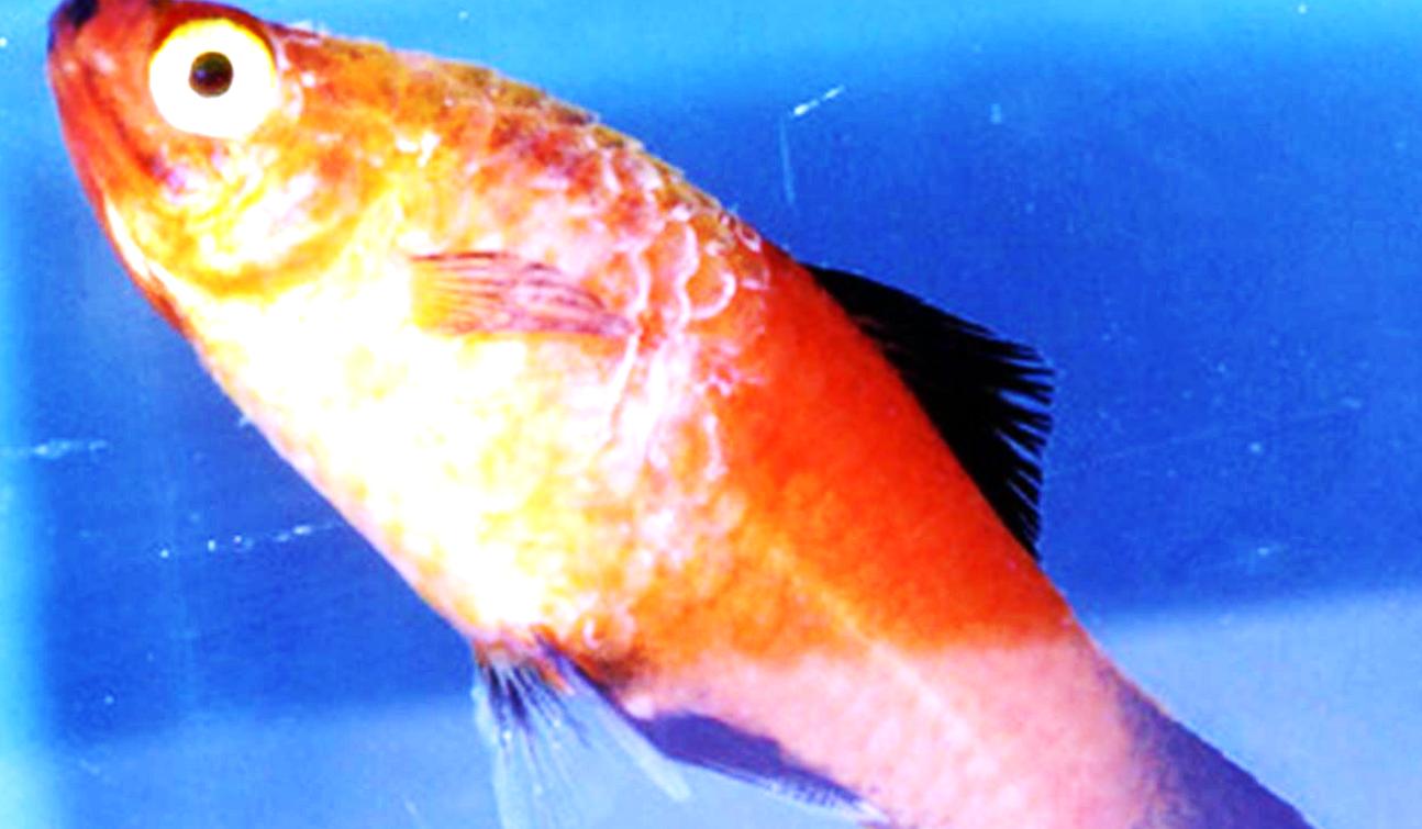 При колумнариозе тельце рыбки покрывается беловато-серым налетом