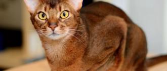 Коты абиссинской породы предрасположены к кардиомиопатии