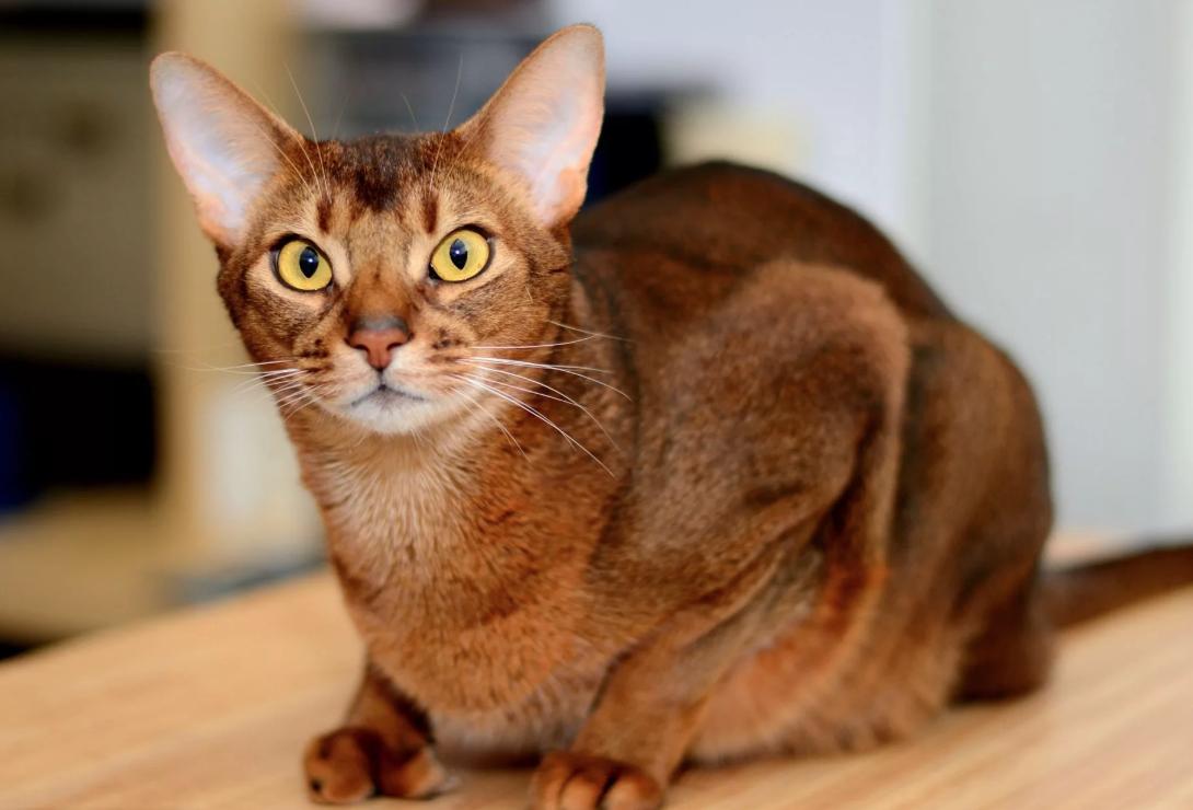 Давления для кошек как лечить