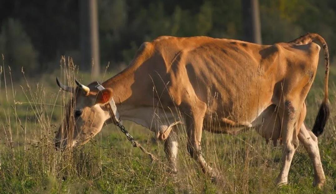 При травматическом ретикулите корова стремительно худеет