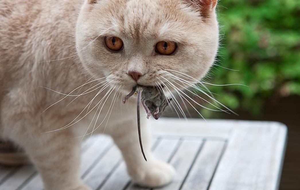 Кошки заражаются, поедая мышей