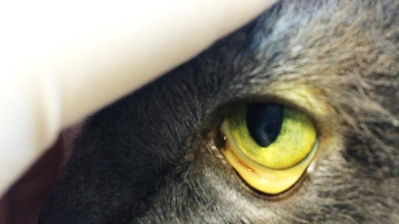 Слизистые глаз при лептоспирозе желтеют