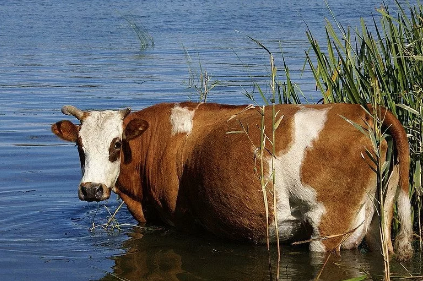 Водопой из пруда приводит к заражению лептоспирозом