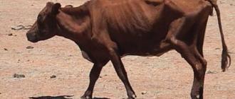 При хроническом течении лептоспироза корова стремительно худеет