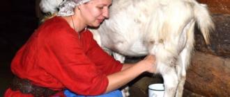 После ложной беременности козу раздаивают так же, как после окота