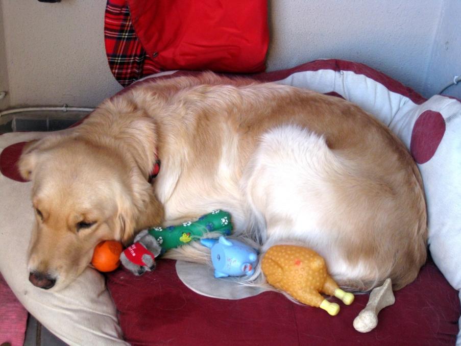 При ложной беременности собака «усыновляет» мягкие игрушки, напоминающие ей щенков