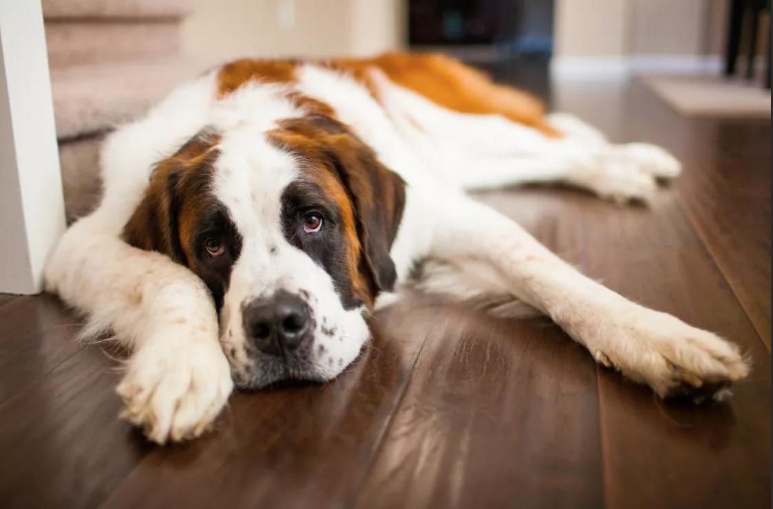 Собака вялая, предпочитает лежать