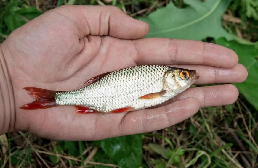 Кот заражается при поедании мелкой речной рыбешки