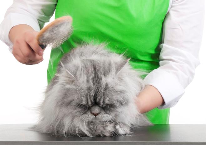 Чтобы не допустить образования трихобезоаров, длинношерстных кошек вычесывают